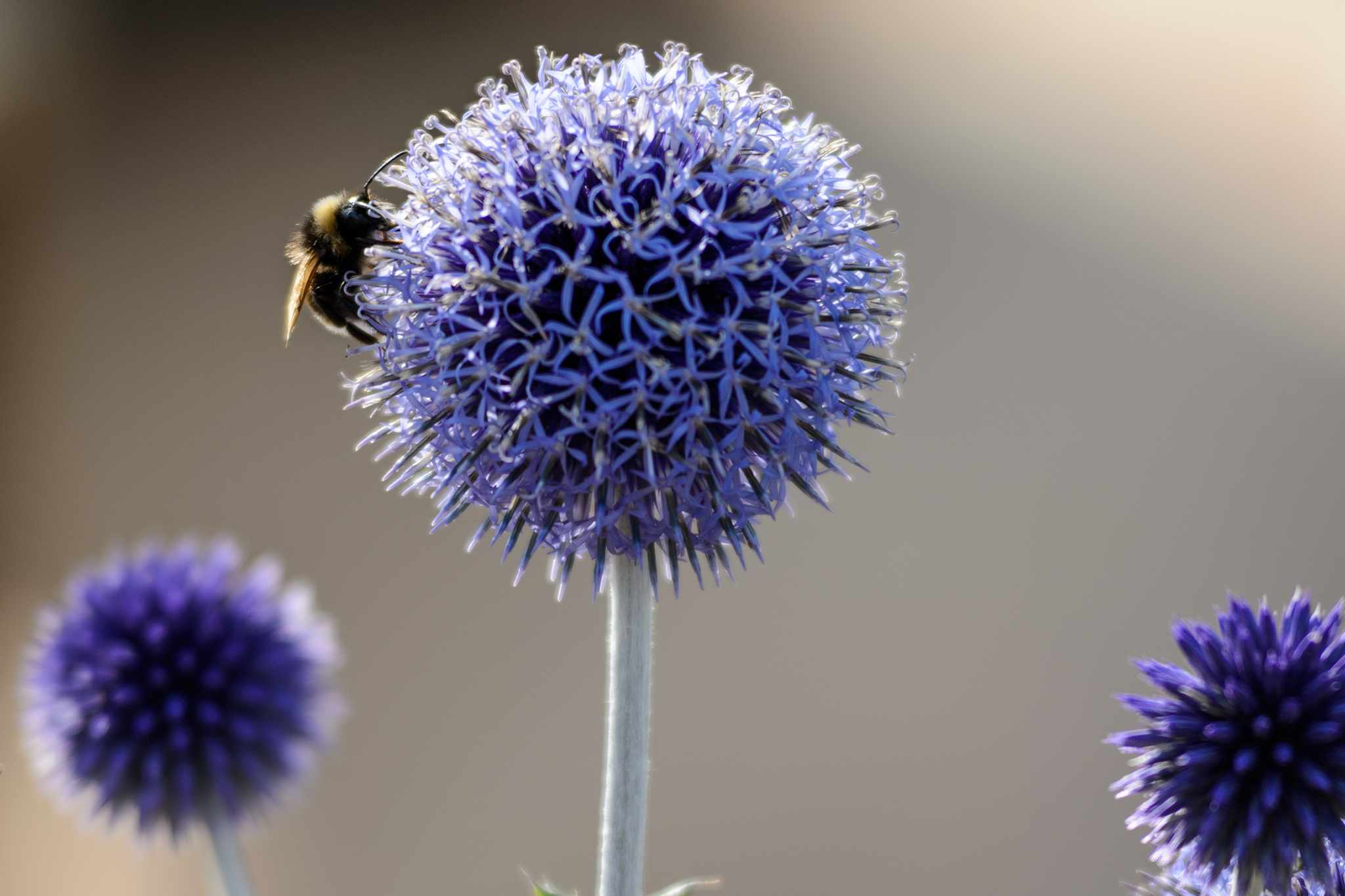 Echinops with bumblebee
