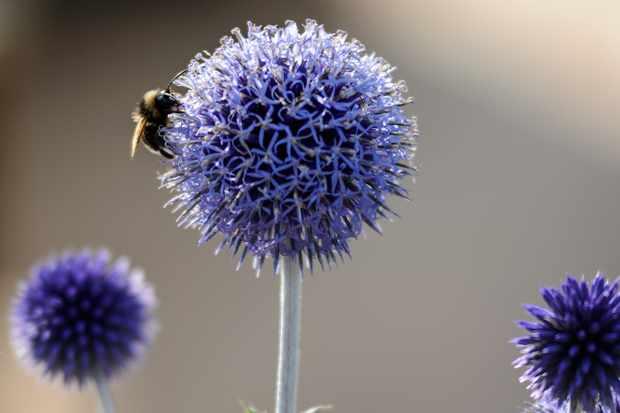 Echinops with bumblebee