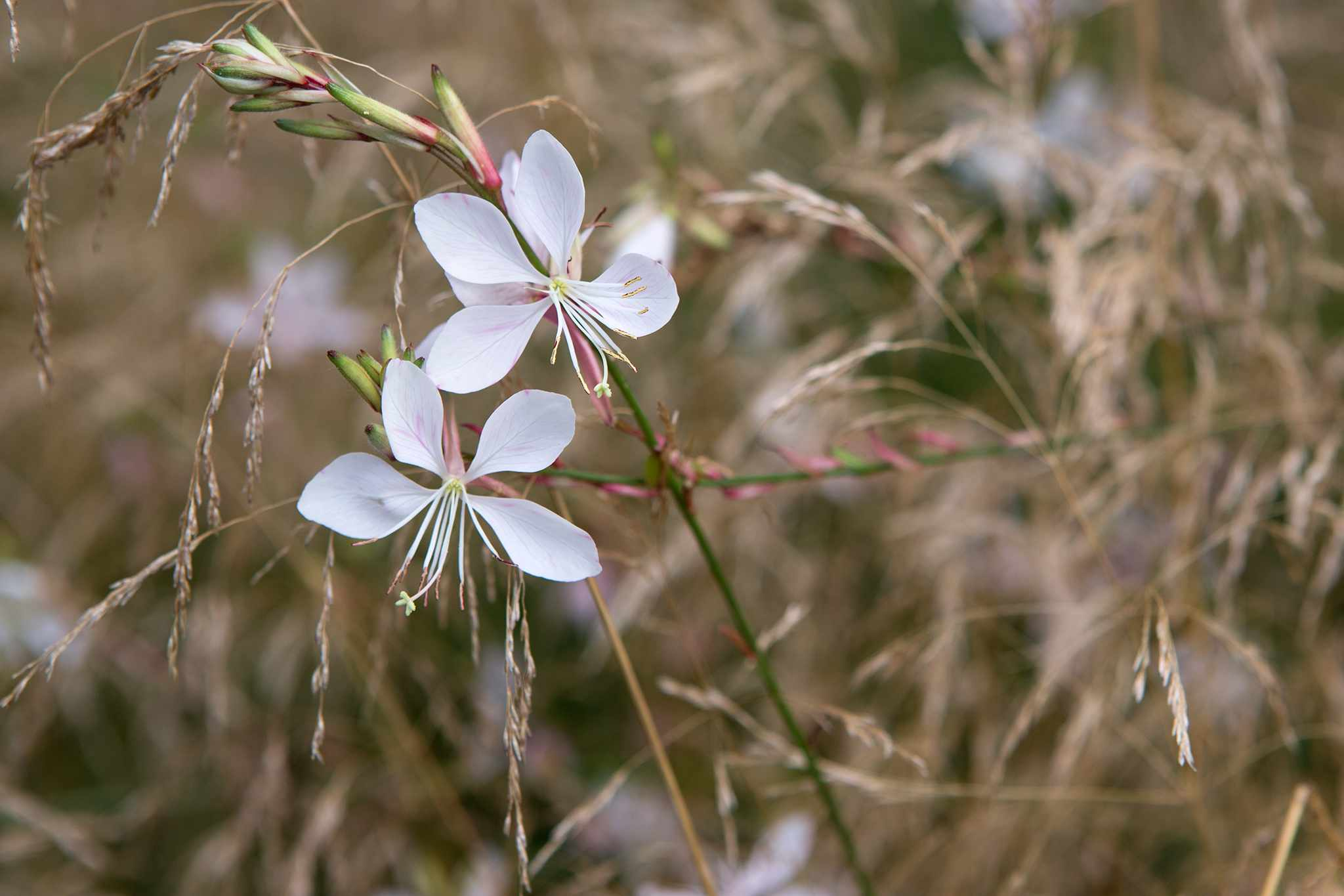 Gaura 'Rosy Hardy' growing with ornamental grasses