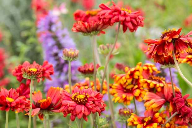 How to grow gaillardia - Gaillardia 'Burgunder'