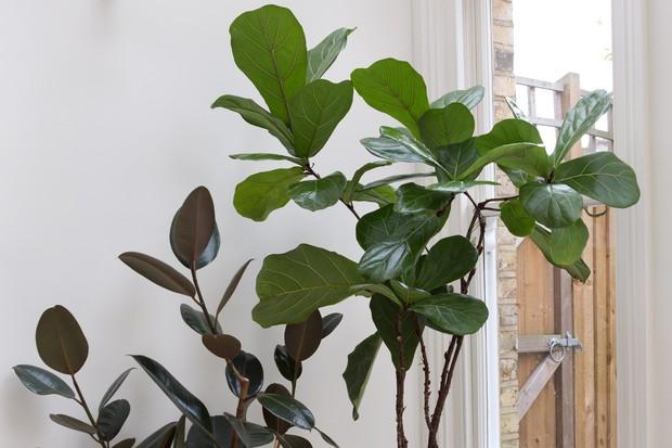 Rubber plant, Ficus elastica 'Robusta'