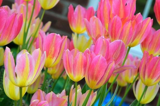 Tulipa 'Antoinette'