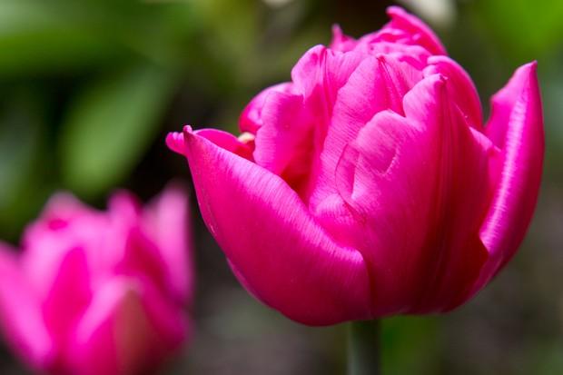 Tulipa 'Queen of Marvel'