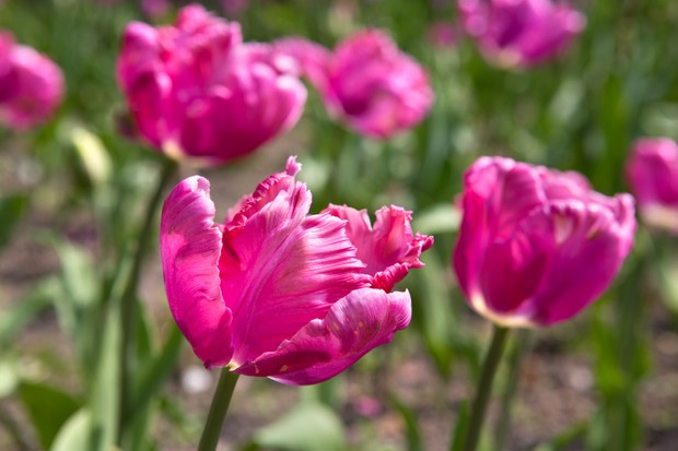 Tulipa 'Rai'