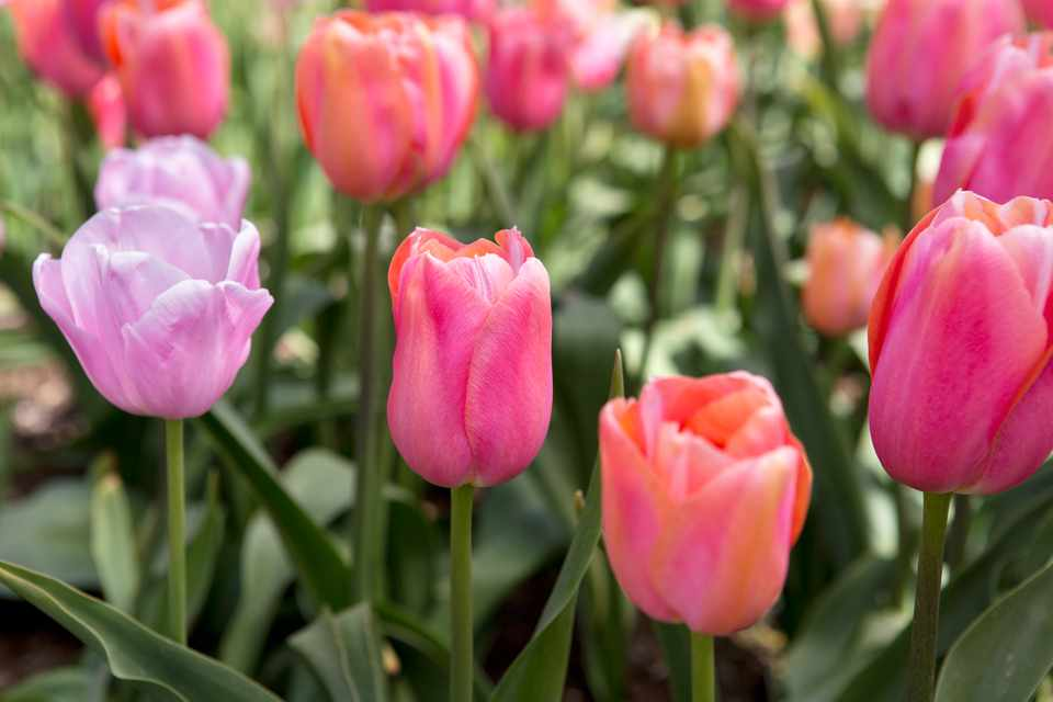 Pink tulips to grow