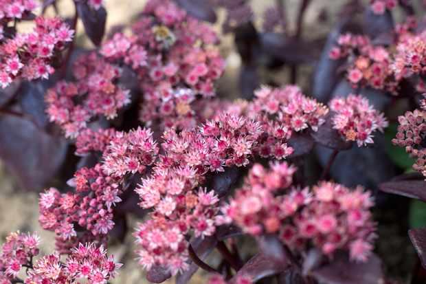 Flowering sedum (Hylotelephium)