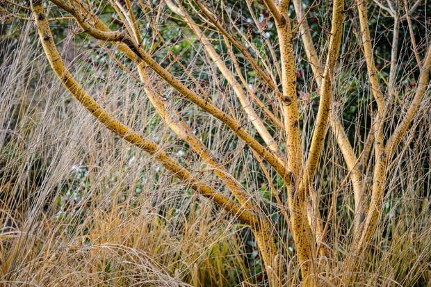 Acer rufinerve 'Erythrocladum' and Molinia caerulea subsp arundinacea 'Zuneigung'