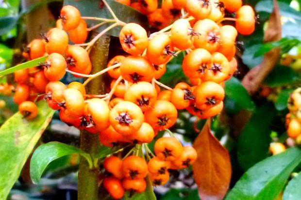 Pyracantha 'Saphyr Orange' ('Cadange')