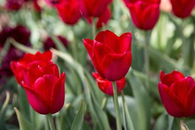 Tulipa 'Kingsblood'