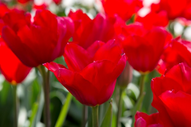 Tulipa 'Red Proud'