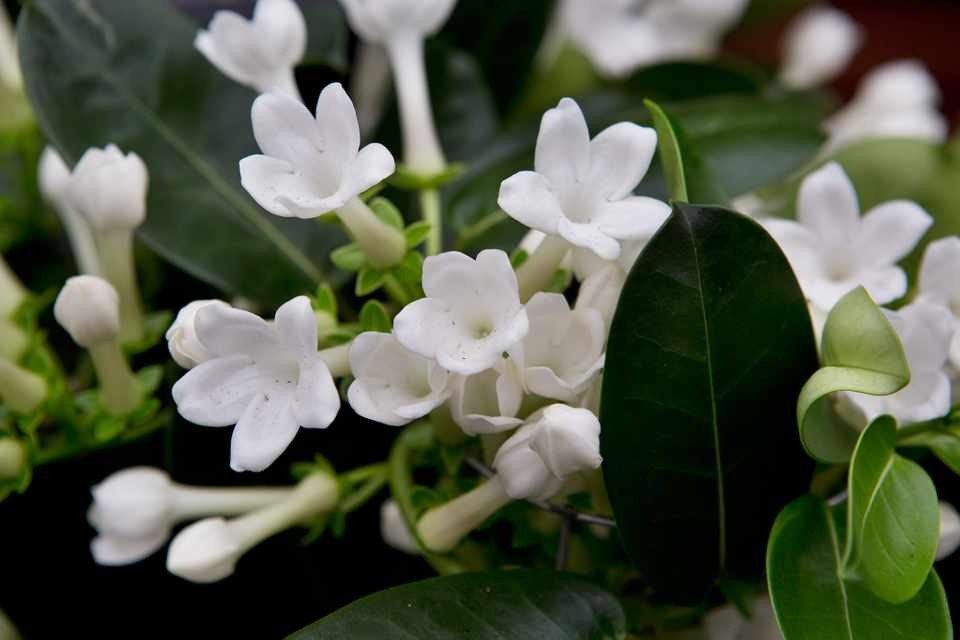 Six scented house plants