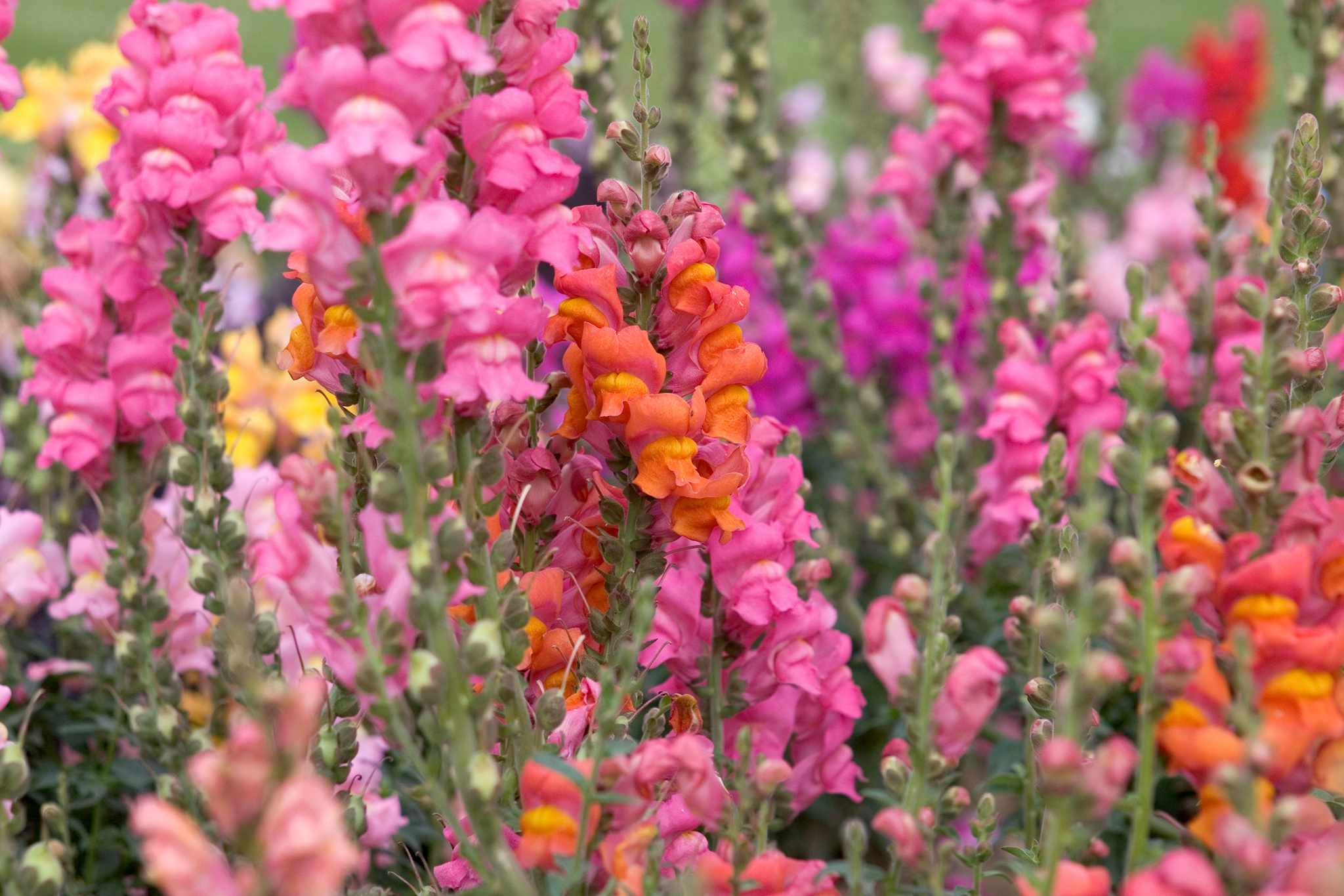 Mixed snapdragon flowers
