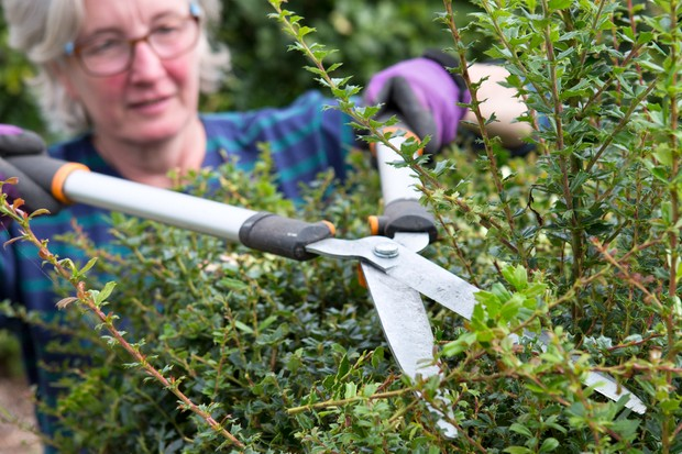 Pruning a berberis hedge