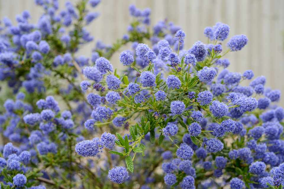 Picture of Live California Lilac aka Ceanothus 'Concha' Shrubs Plant Fit 1 Gallon Pot