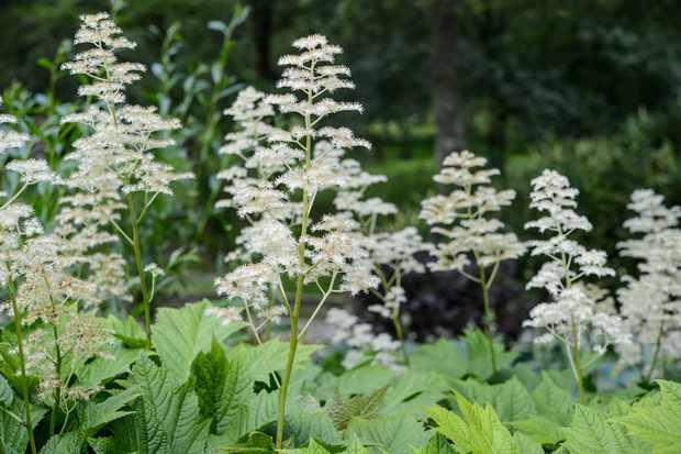 Rodgersia podophylla,  Sir Harold Hillier Garden