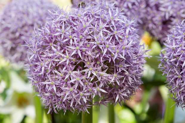 Best alliums to grow - Allium 'Globemaster'