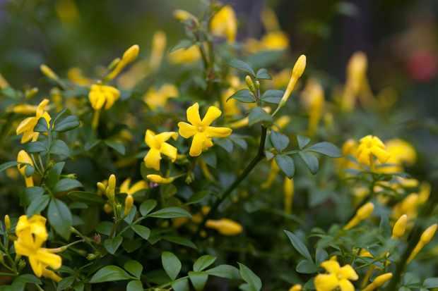 Jasminum fruticans (Yellow Jasmine)