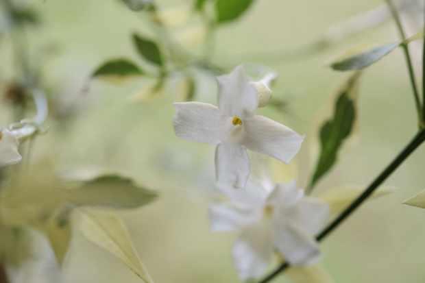Jasminum officinale 'Argenteovariegatum'