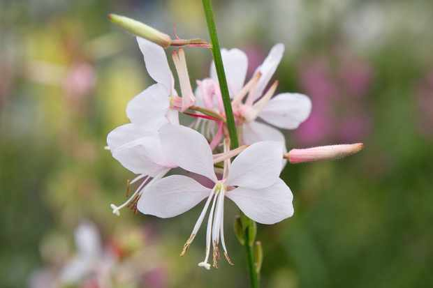 Gaura 'Ice Cool Rosy'