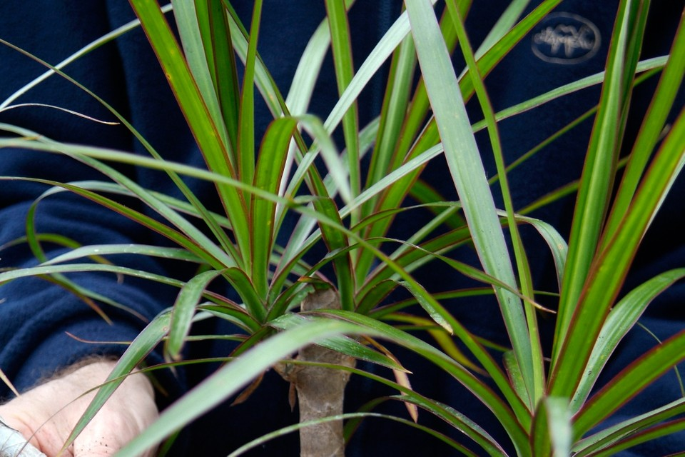 Dracaena marginata - BBC Gardeners' World Magazine