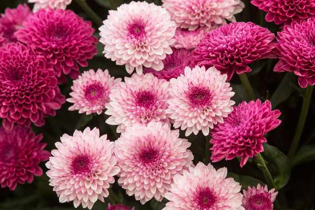 Chrysanthemum 'Lollipop'