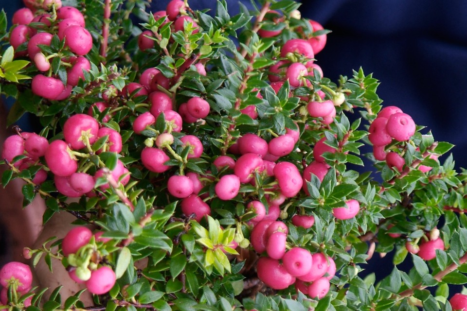 Pernettya Berries.Gaultheria Mucronata Bbc Gardeners World Magazine