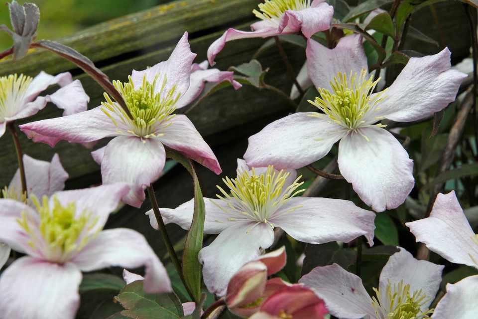 Clematis montana var. rubens 'Elizabeth'