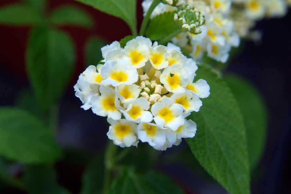 Lantana Camara Lemon Cream Bbc Gardeners World Magazine