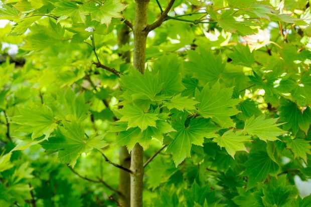 Acer Japonicum Vitifolium Bbc Gardeners World Magazine