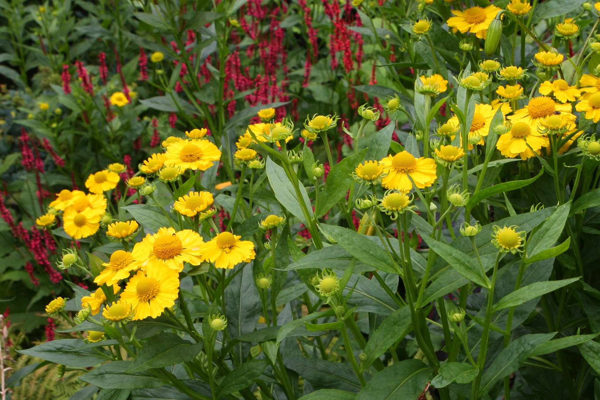Helenium 'Butterpat'