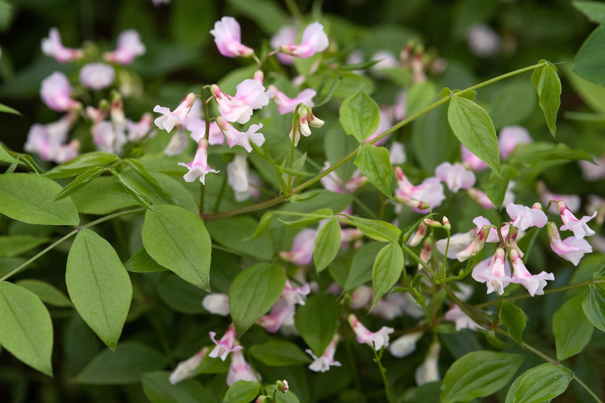 Lathyrus vernus 'Spring Melody'