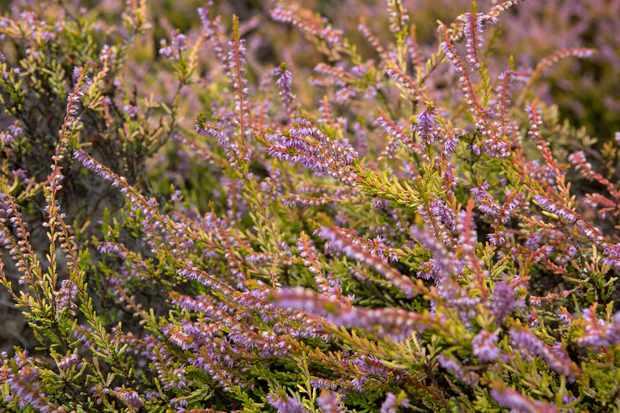 Calluna vulgaris 'Annemarie'