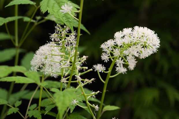 White baneberry, Actaea pachypoda