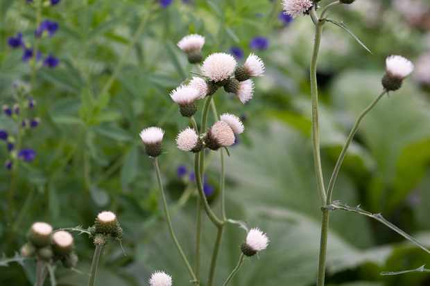 Peach-white flowers of Cirsium rivulare 'Frosted Magic'