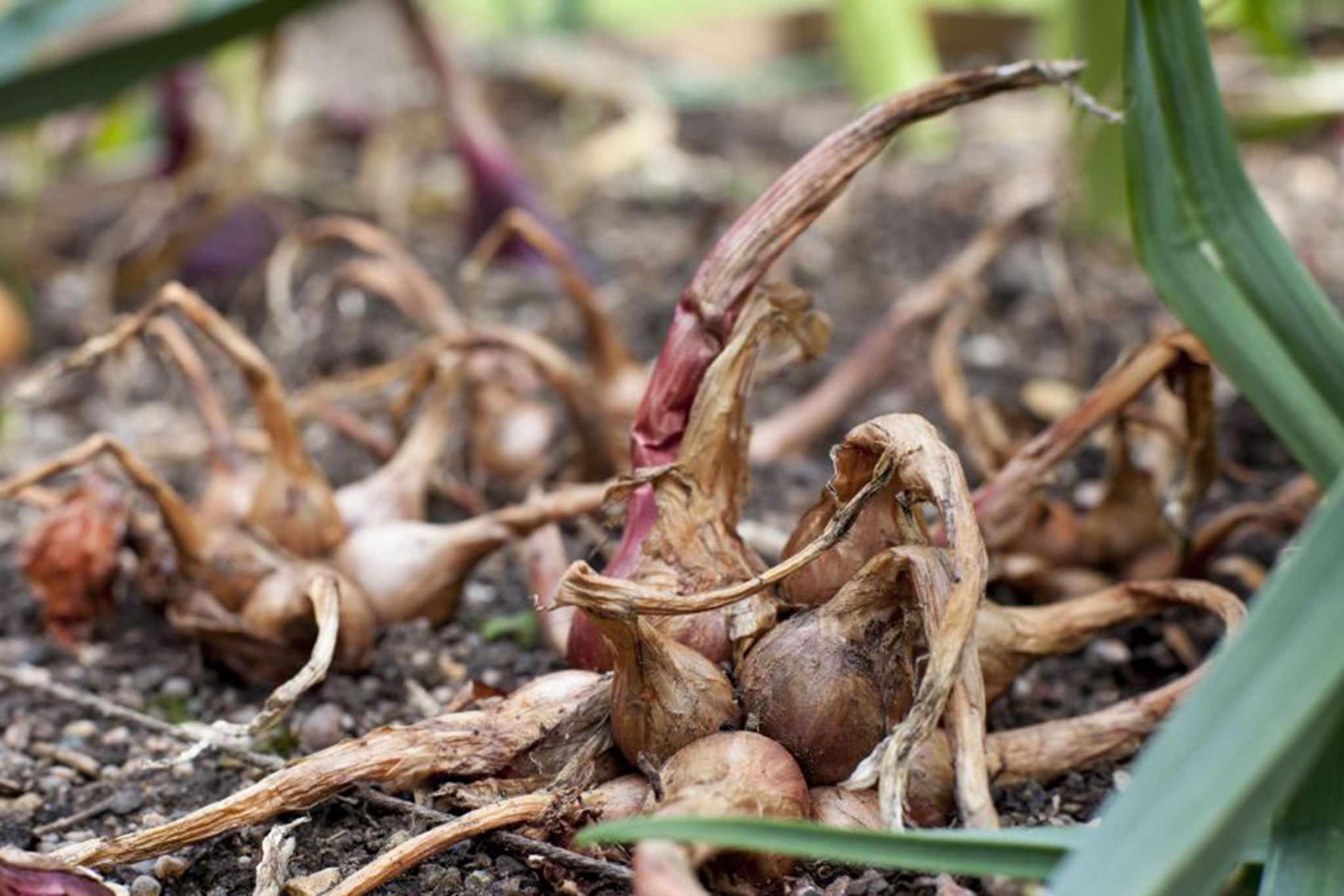 Allium cepa 'Hative de Niort'