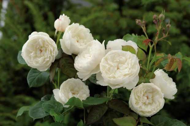 Rosa 'William and Catherine'