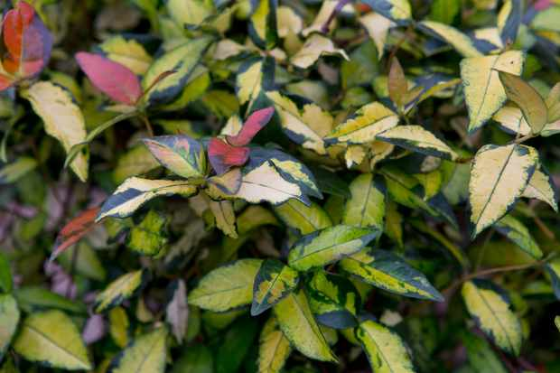 Trachelospermum 'Ogon Nishiki'