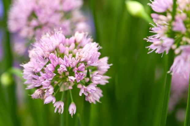 Best alliums to grow - Allium 'Millennium'