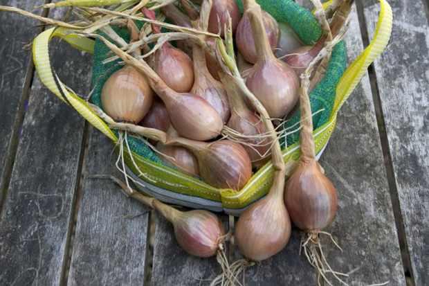Allium cepa 'Mikor'