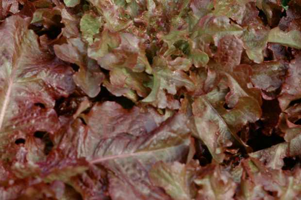 Lactuca sativa 'Salad Bowl Red'