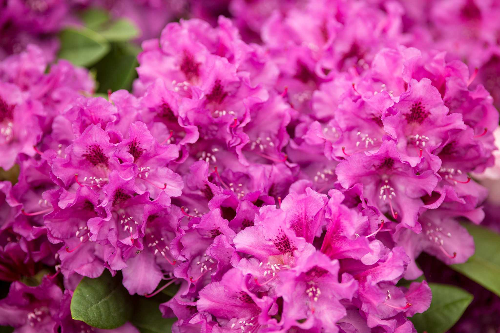 Rhododendron 'Tapestry'