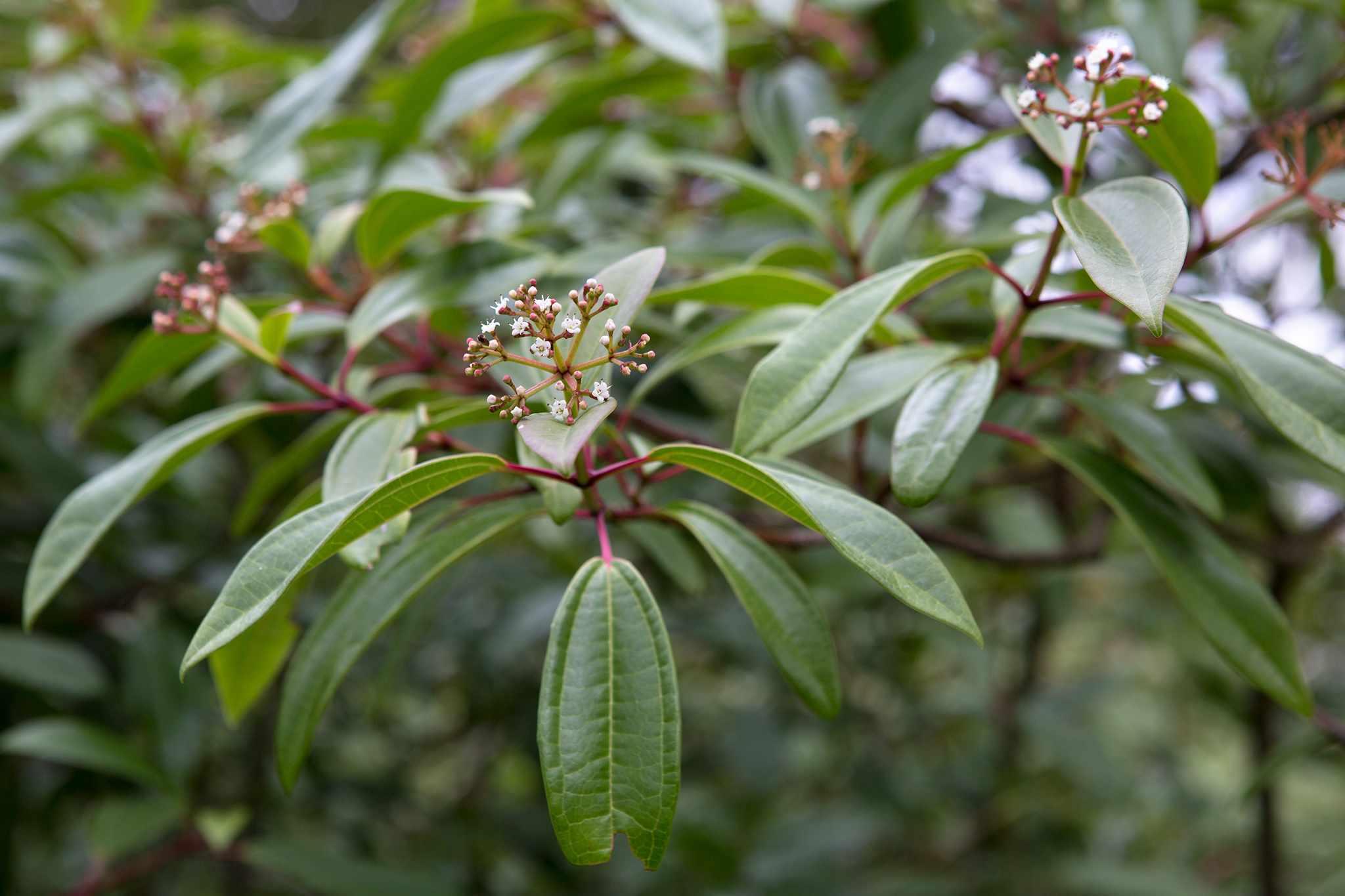 Viburnum davidii 'Angustifolium', Sir Harold Hillier Garden