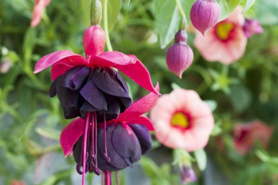 Fuchsia New Millennium Bbc Gardeners World Magazine