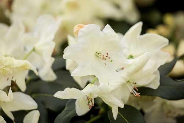 Rhododendron 'Queen Elizabeth II'
