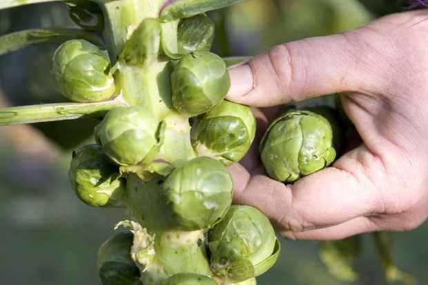 Brassica oleracea Gemmifera Group