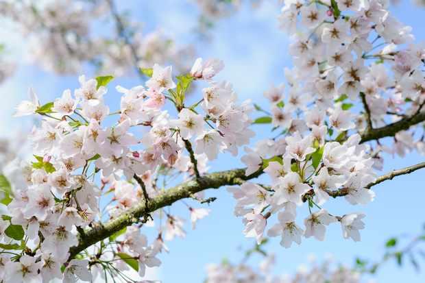 Prunus 'Pink Shell', Sir Harold Hillier Garden