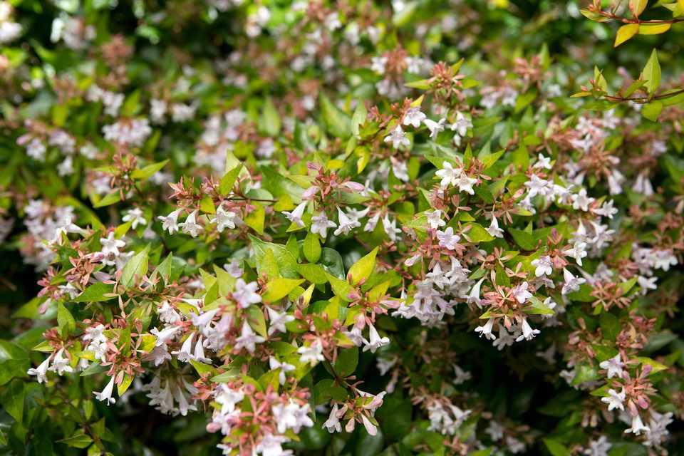Abelia X Grandiflora Goldsport Bbc Gardeners World Magazine