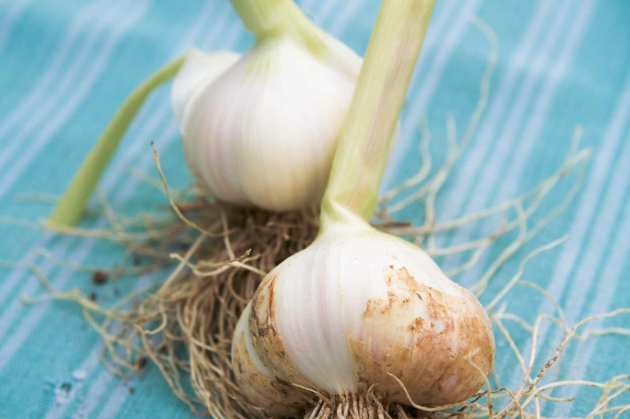 Allium sativum 'Solent Wight'