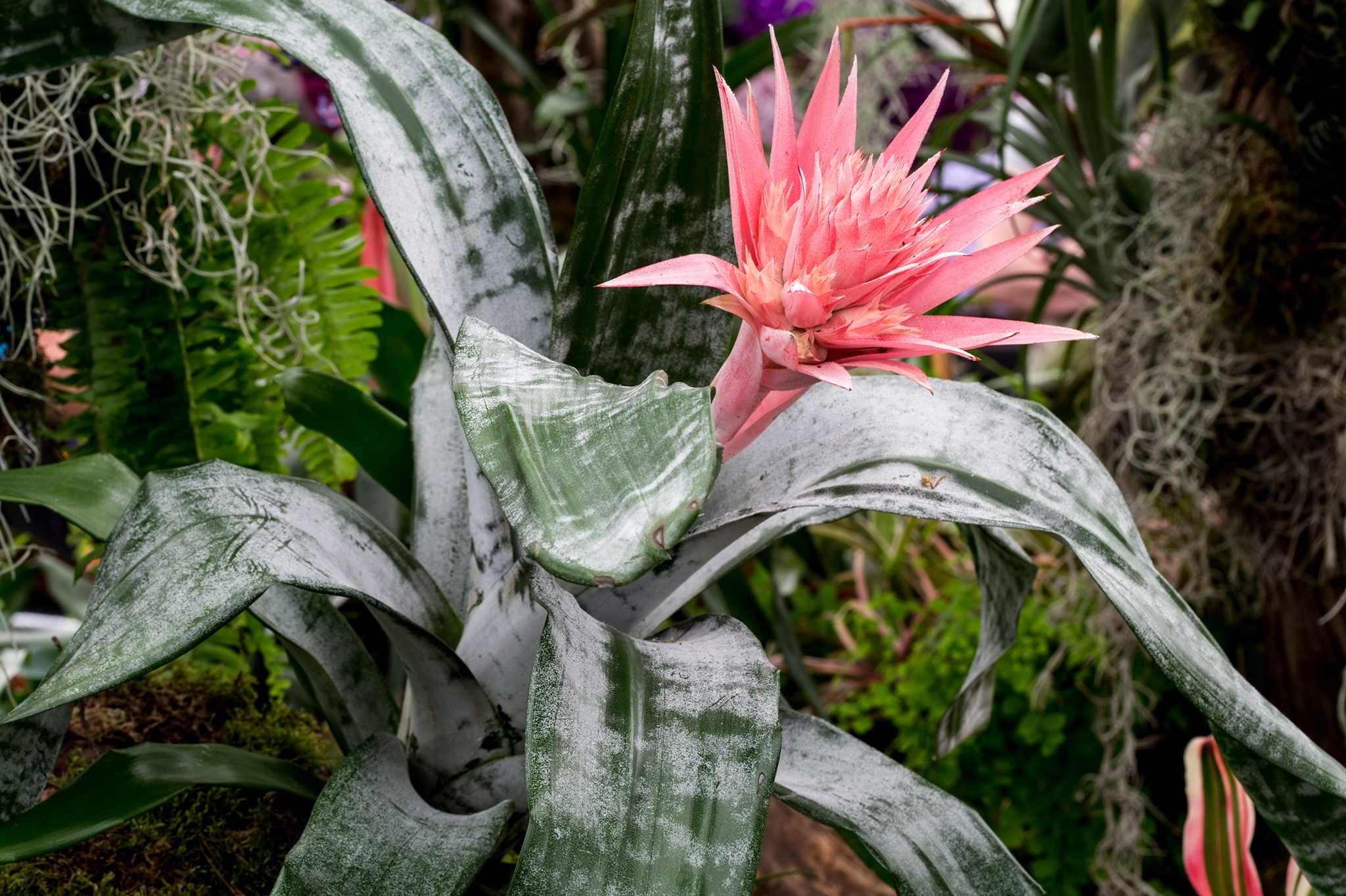 Aechmea fasciata 'Primera': dusky pink flowers on silvered green leaves