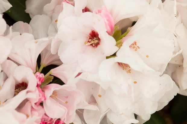 Rhododendron 'Silver Jubilee'